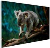 Klimmende koala op tak Glas 30x20 cm - klein - Foto print op Glas (Plexiglas wanddecoratie)