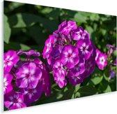 De vlambloem in bloei op een zonnige middag Plexiglas 180x120 cm - Foto print op Glas (Plexiglas wanddecoratie) XXL / Groot formaat!