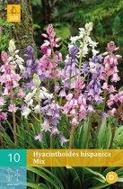 Hyacinthoides hispanica mix - boshyacint - 2 sets