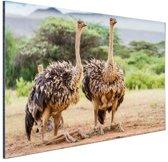 Vrouwelijke struisvogels Aluminium 90x60 cm - Foto print op Aluminium (metaal wanddecoratie)
