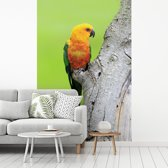 Fotobehang vinyl - Een oranje Zonparkiet zit op een boom breedte 270 cm x hoogte 400 cm - Foto print op behang (in 7 formaten beschikbaar)