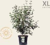 Viburnum burkwoodii - XL