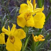 6 x Iris Pseudacorus - Gele Iris pot 9x9cm