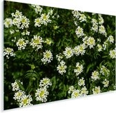 Witte bladeren van de witte waterkers planten in de natuur Plexiglas 60x40 cm - Foto print op Glas (Plexiglas wanddecoratie)