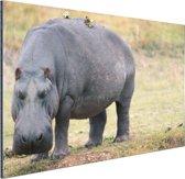 Nijlpaard op het droge Aluminium 90x60 cm - Foto print op Aluminium (metaal wanddecoratie)