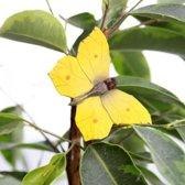 Vlindermagneet citroenvlinder - set van 4 stuks