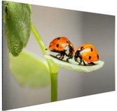 Twee lieveheersbeestjes op blad Aluminium 90x60 cm - Foto print op Aluminium (metaal wanddecoratie)
