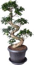 Bonsai Ficus ginseng S-shape in antraciet plasticpot 36cm