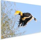 Dubbelhoornige neushoornvogel tijdens de vlucht Plexiglas 160x120 cm - Foto print op Glas (Plexiglas wanddecoratie) XXL / Groot formaat!