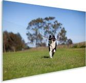 Een Border Collie met een stok in de mond Plexiglas 180x120 cm - Foto print op Glas (Plexiglas wanddecoratie) XXL / Groot formaat!