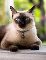 Siamese: Cat - Blank Sheet Music - 150 pages 8.5 x 11 in. - 12 Staves Per Page - Music Staff - Composition - Notation - Songwri