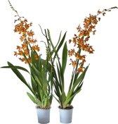 Orchideeën van Botanicly | 2 × Orchidee oranje | Hoogte: 60 cm  | Cambria Burrageara 'Catatante'