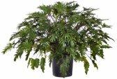 Philodendron Xanadu Large