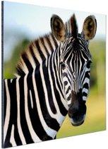 FotoCadeau.nl - Zebra in Afrika Aluminium 50x50 cm - Foto print op Aluminium (metaal wanddecoratie)