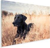 Een Labrador Retriever ligt in het hoge gras Plexiglas 120x80 cm - Foto print op Glas (Plexiglas wanddecoratie)