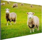 Schapen in een weiland Aluminium 180x120 cm - Foto print op Aluminium (metaal wanddecoratie) XXL / Groot formaat!
