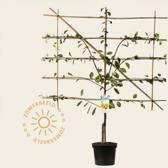 Prunus domestica 'Mirabelle de Nancy' - laagstam lei-vorm