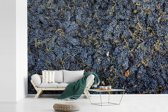 Fotobehang vinyl - Vers geoogste Sangiovese paarse druiven breedte 450 cm x hoogte 300 cm - Foto print op behang (in 7 formaten beschikbaar)