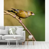 Fotobehang vinyl - Een groenling zit op een takje en geniet van de zon breedte 280 cm x hoogte 280 cm - Foto print op behang (in 7 formaten beschikbaar)