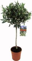 Mediterrane Planten Olijf op stam,  Hoogte 85 CM, Pot Ø 19 CM