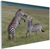 Spelende zebras Glas 120x80 cm - Foto print op Glas (Plexiglas wanddecoratie)