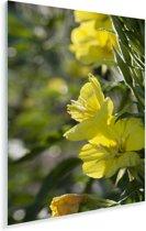 Gele teunisbloemen tijdens een zonnige dag Plexiglas 120x180 cm - Foto print op Glas (Plexiglas wanddecoratie) XXL / Groot formaat!