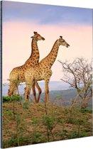 Giraffes fotoafdruk Aluminium 80x120 cm - Foto print op Aluminium (metaal wanddecoratie)