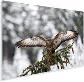 Volwassen buizerd in de besneeuwde landen van Tsjechië Plexiglas 120x80 cm - Foto print op Glas (Plexiglas wanddecoratie)