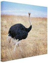 Portret mannelijke struisvogel Canvas 80x60 cm - Foto print op Canvas schilderij (Wanddecoratie woonkamer / slaapkamer) / Dieren Canvas Schilderijen