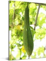 Een sponskomkommer groeiend in de natuur Aluminium 60x90 cm - Foto print op Aluminium (metaal wanddecoratie)