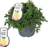 Grote Citroen Geranium 17cm pot Perfect tegen Muggen!