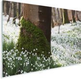 Een veld vol met sneeuwklokjes Plexiglas 80x60 cm - Foto print op Glas (Plexiglas wanddecoratie)