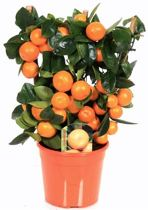 Citrus Calamondis mandarijn op rek met echte mandarijnen 40cm hoog potmaat∅15
