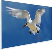 Roodsnavelkeerkringvogel strekt zijn vleugels Plexiglas 180x120 cm - Foto print op Glas (Plexiglas wanddecoratie) XXL / Groot formaat!