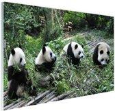 Reuze pandas in de natuur Glas 180x120 cm - Foto print op Glas (Plexiglas wanddecoratie) XXL / Groot formaat!