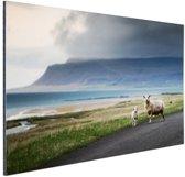 IJslandse schapen Aluminium 180x120 cm - Foto print op Aluminium (metaal wanddecoratie) XXL / Groot formaat!