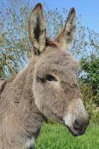 Inquisitive Little Gray Donkey Journal
