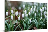 Sneeuwklokjes op een koude winterdag Aluminium 30x20 cm - klein - Foto print op Aluminium (metaal wanddecoratie)