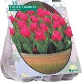 Tulipa (Tulpen) bloembollen - Toronto - Greigii - 2 x 25 stuks