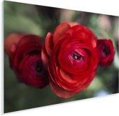 Drie rode boterbloemen Plexiglas 40x30 cm - klein - Foto print op Glas (Plexiglas wanddecoratie)