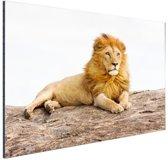 Liggende leeuw Aluminium 90x60 cm - Foto print op Aluminium (metaal wanddecoratie)