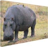 Nijlpaard op het droge Canvas 80x60 cm - Foto print op Canvas schilderij (Wanddecoratie woonkamer / slaapkamer) / Dieren Canvas Schilderijen