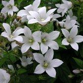 6 x Campanula Carpatica 'White Clips' - Karpatenklokje pot 9x9cm
