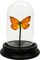 Opgezette oranje vlinder in glazen stolp - Appias nero