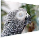 De grijze roodstaart of papegaaiachtige met haar mooie vacht Plexiglas 30x20 cm - klein - Foto print op Glas (Plexiglas wanddecoratie)