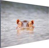 Nijlpaard close-up boven water Aluminium 60x40 cm - Foto print op Aluminium (metaal wanddecoratie)