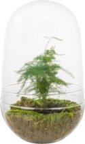 Kamerplant van Botanicly – Egg Large Closed - Aspergus Plumosus – Hoogte: 30 cm