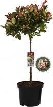 Glansmispel op stam - Photinia Fraseri Little Red Robin - 85 cm