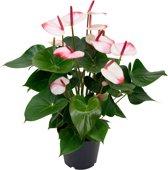 Anthurium 'Hotlips' -  Flamingoplant roze  ↑ 55-60cm - Ø 17cm
