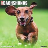 Just Dachshunds 2017 Wall Calendar
